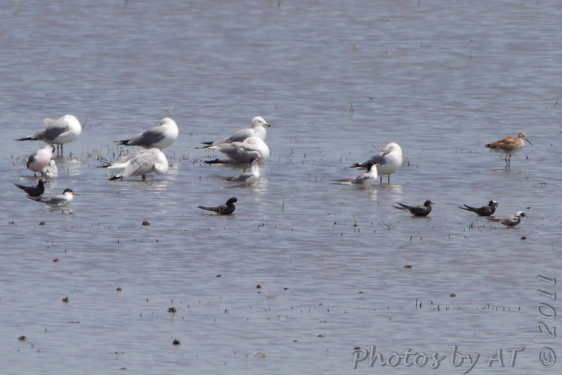 Forster's and Black Terns, Willet, Franklin's and Ring-billed Gulls <br /> Cheyenne Bottoms Wildlife Area <br /> Kansas