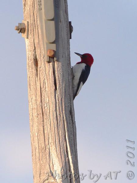 Red-headed Woodpecker <br /> Quivira National Wildlife Refuge <br /> Kansas