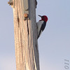Red-headed Woodpecker <br /> Quivira National Wildlife Refuge <br /> Kansas