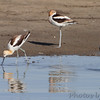 American Avocet <br /> Quivira National Wildlife Refuge <br /> Kansas