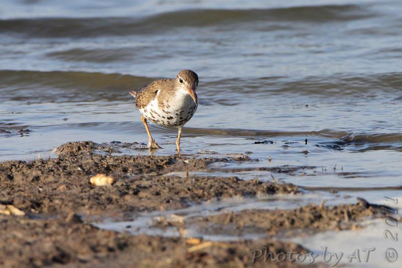 Spotted Sandpiper <br /> Quivira National Wildlife Refuge <br /> Kansas