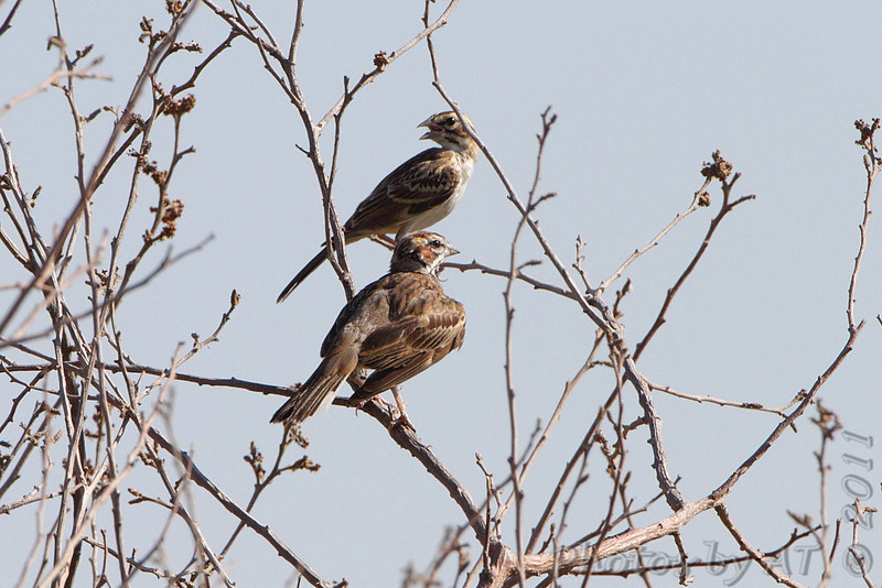 Lark Sparrow <br /> Quivira National Wildlife Refuge <br /> Kansas