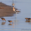 American Avocet and Dowitcher sp. <br /> Quivira National Wildlife Refuge <br /> Kansas