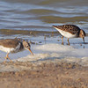 Spotted and Least Sandpipers <br /> Quivira National Wildlife Refuge <br /> Kansas