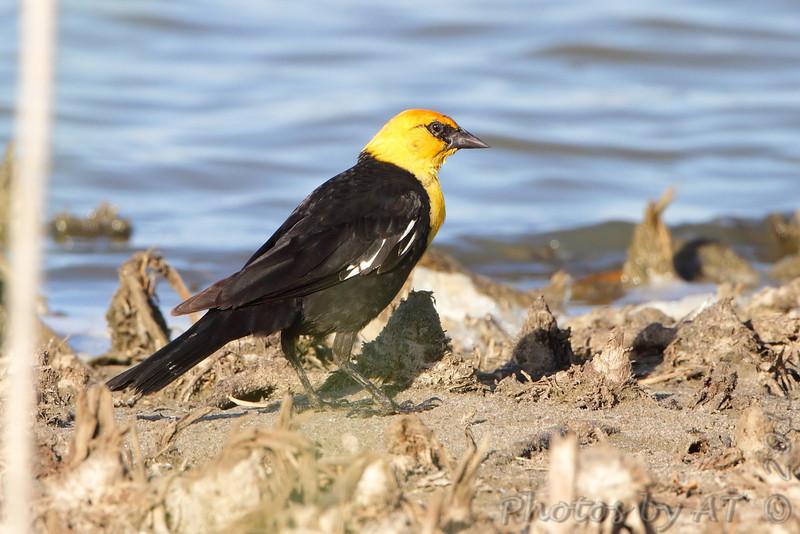 Yellow-headed Blackbird <br /> Quivira National Wildlife Refuge <br /> Kansas