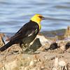 Yellow-headed Blackbird <br /> Quivira National Wildlife Refuge <br /> Kansas