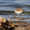 Spotted Sandpiper <br /> Quivira National Wildlife Refuge <br /> Kansas