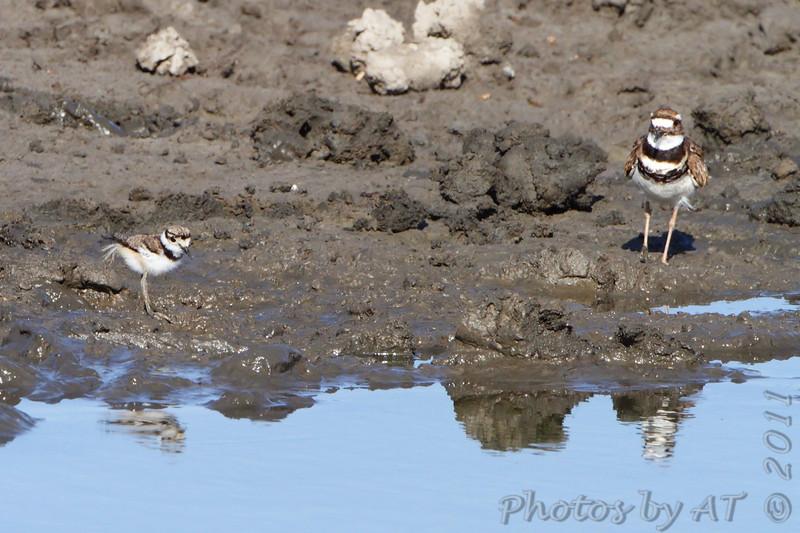 Killdeer and plover (?) <br /> Quivira National Wildlife Refuge <br /> Kansas