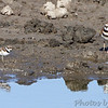 Killdeer and plover (?) <br /> Quivira National Wildlife Refuge <br /> Kansas