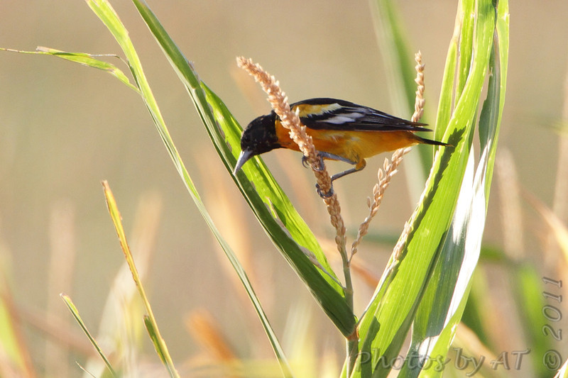 Baltimore Oriole <br /> Quivira National Wildlife Refuge <br /> Kansas