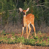 Whitetail Deer <br /> Quivira National Wildlife Refuge <br /> Kansas