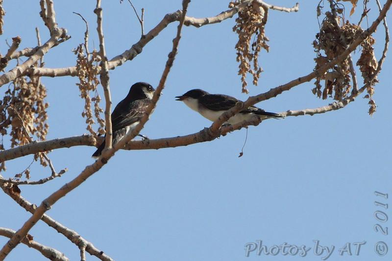 Eastern Kingbirds <br /> Quivira National Wildlife Refuge <br /> Kansas