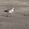 Western Sandpiper ? <br /> Quivira National Wildlife Refuge <br /> Kansas