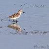 Semipalmated Sandpiper ?<br /> Quivira National Wildlife Refuge <br /> Kansas