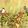Eastern Kingbirds <br /> Quivira National Wildlife Refuge <br /> Kansas