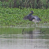 Tricolored Heron <br /> Heron Pond output channel <br /> Riverlands Migratory Bird Sanctuary