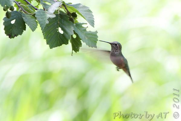 Broad-tailed Hummingbird  Rocky Mountain National Park  Colorado