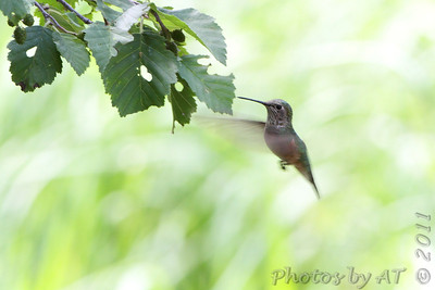 Broad-tailed Hummingbird  Rocky Mountain National Park  Colorado