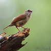 Carolina Wren<br /> Mingo National Wildlife Refuge