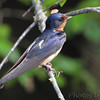 Barn Swallow <br /> Mingo National Wildlife Refuge