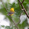 Prothonotary Warbler <br /> Mingo National Wildlife Refuge