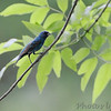 Indigo Bunting <br /> Mingo National Wildlife Refuge