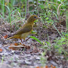 Summer Tanager (female) <br /> Mingo National Wildlife Refuge