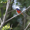 Painted Bunting <br /> Quarry outside Willard, Mo.