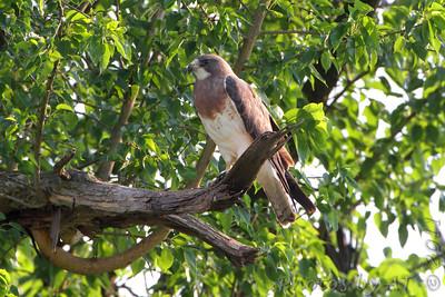 Swainson's Hawk  Springfield, Mo.