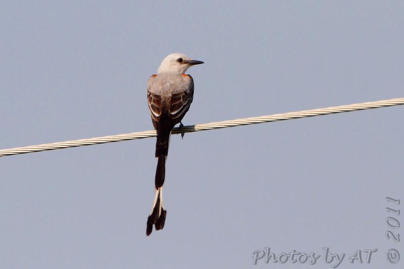 Scissor-tailed Flycatcher <br /> Quarry outside Willard, Mo.