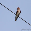 Northern Rough-winged Swallow <br /> Quarry outside Willard, Mo.