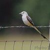 Scissor-tailed Flycatcher <br /> Quarry outside Willard, Mo.