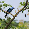 Indigo Bunting <br /> Quarry outside Willard, Mo.