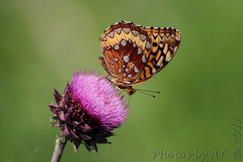 Great Spangled Fritillary <br /> Quarry outside Willard, Mo.