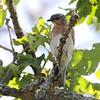 Eastern Bluebird (female) <br /> Minnie's farm