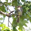 Flycatcher sp. <br /> Minnie's farm