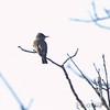 Olive-sided Flycatcher <br /> Wildcat Glades Conservation & Audubon Center <br /> Joplin, Mo.