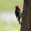 Red-headed Woodpecker <br /> Wildcat Glades Conservation & Audubon Center <br /> Joplin, Mo.
