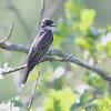 Eastern Kingbird <br /> Wildcat Glades Conservation & Audubon Center <br /> Joplin, Mo.
