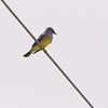 Western Kingbird <br /> In front of storage place on Feise Commercial Drive <br /> Hwy N and 40 St. Charles County