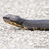 Cottonmouth <br /> Mingo National Wildlife Refuge