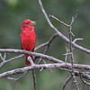 Summer Tanager <br /> Indian Trail Conservation Area