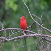 """Summer Tanager <br> Indian Trail Conservation Area  <br><br><span class=""""noShowSmart""""> <a href=""""/MyKeywords/Bird-Videos/n-gF9bt/i-7mvXX4D/A""""> <span style=""""color:yellow"""">Click here to open video in lightbox/full screen</span></a> </span>  <span class=""""noShowGallery""""> <a href=""""/Birds/Birding-2011-June/2011-06-24-Indian-Trails-CA/i-7mvXX4D/A""""> <span style=""""color:yellow"""">Click here to open video in lightbox/full screen</span></a> </span>"""