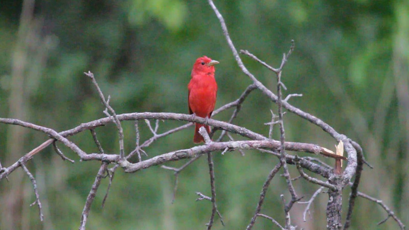"Summer Tanager <br> Indian Trail Conservation Area  <br><br><span class=""noShowSmart""> <a href=""/MyKeywords/Bird-Videos/n-gF9bt/i-8zhnW3F/A""> <span style=""color:yellow"">Click here to open video in lightbox/full screen</span></a> </span>  <span class=""noShowGallery""> <a href=""/Birds/Birding-2011-June/2011-06-24-Indian-Trails-CA/i-8zhnW3F/A""> <span style=""color:yellow"">Click here to open video in lightbox/full screen</span></a> </span>"