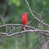 """Summer Tanager <br> Indian Trail Conservation Area  <br><br><span class=""""noShowSmart""""> <a href=""""/MyKeywords/Bird-Videos/n-gF9bt/i-8zhnW3F/A""""> <span style=""""color:yellow"""">Click here to open video in lightbox/full screen</span></a> </span>  <span class=""""noShowGallery""""> <a href=""""/Birds/Birding-2011-June/2011-06-24-Indian-Trails-CA/i-8zhnW3F/A""""> <span style=""""color:yellow"""">Click here to open video in lightbox/full screen</span></a> </span>"""