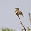 Flycatcher sp.<br /> Indian Trail Conservation Area