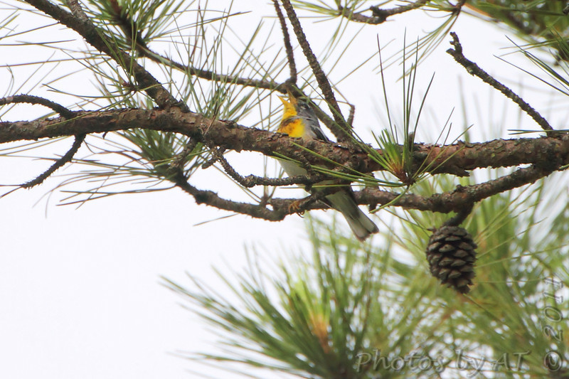 Northern Parula  <br /> Indian Trail Conservation Area