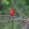 """Summer Tanager <br> Indian Trail Conservation Area  <br><br><span class=""""noShowSmart""""> <a href=""""/MyKeywords/Bird-Videos/n-gF9bt/i-kMLfpRs/A""""> <span style=""""color:yellow"""">Click here to open video in lightbox/full screen</span></a> </span>  <span class=""""noShowGallery""""> <a href=""""/Birds/Birding-2011-June/2011-06-24-Indian-Trails-CA/i-kMLfpRs/A""""> <span style=""""color:yellow"""">Click here to open video in lightbox/full screen</span></a> </span>"""