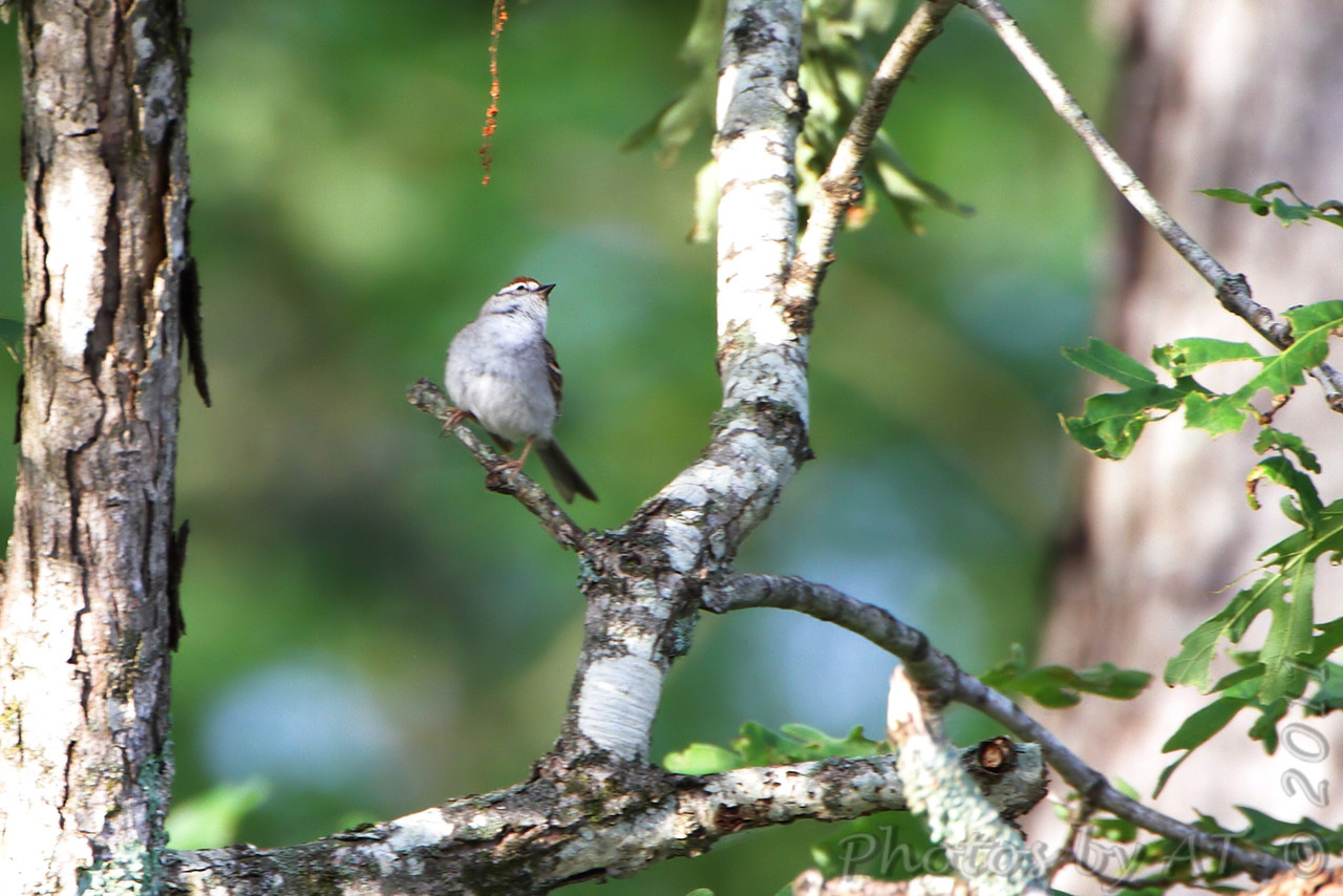 Chipping Sparrow <br /> Indian Trail Conservation Area