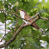 Yellow-billed Cuckoo  <br /> Indian Trail Conservation Area
